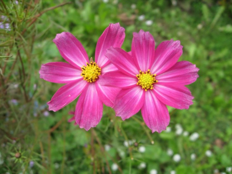 Best Pink Two Aster Flower For Marriage