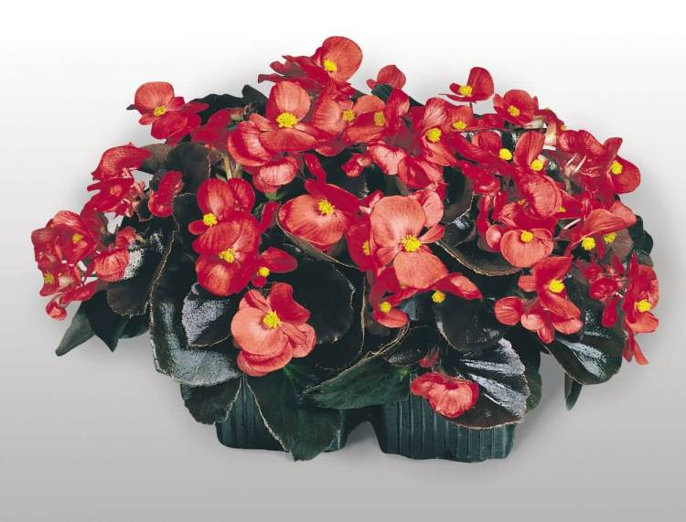 Best Red Begonia Flower Plant For Your Love One