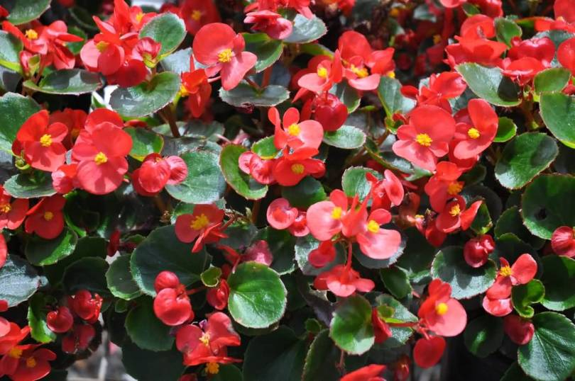 Best Red Many Begonia Flowers With Green Leafs
