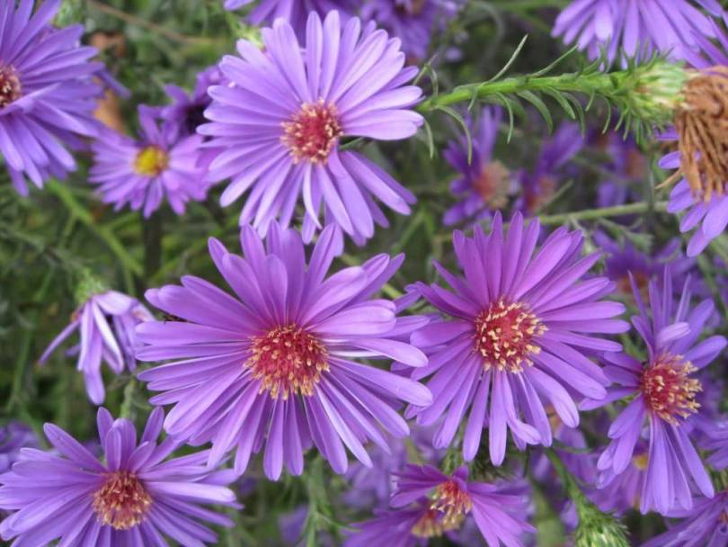 Best Wallpaper Of Purple Aster Flowers