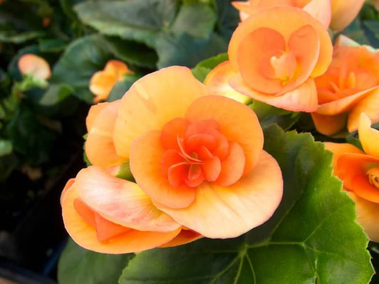 Best Wallpaper Or Orange Begonia Flower Plant