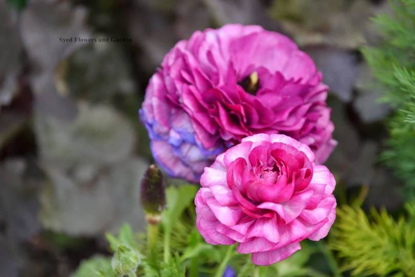Best Wallpaper of Pink Persian Buttercup Flowers