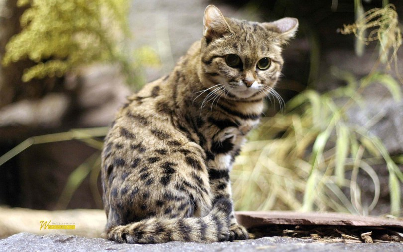 black-footed-cat-wonderful-4k-wallpaper