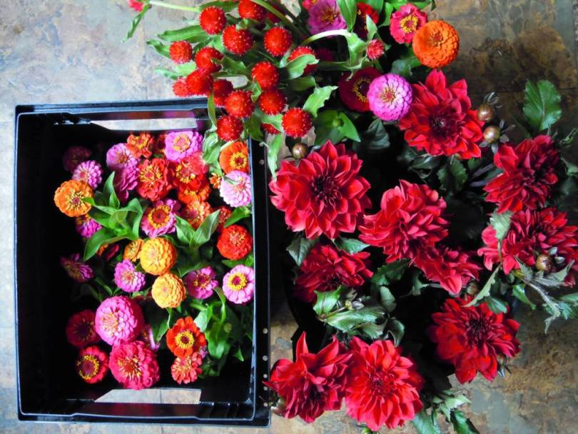 Brilliant Colorful Amaranth Globe Flowers For Gifting Someone
