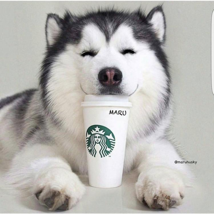 Charming White Husky Dog Looks So Beautiful While Drinking Coffee