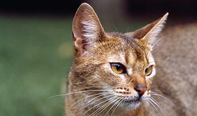 Clever Hungry Abyssinian Cats Looking At eat