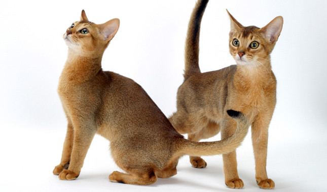 Cute Abyssinian Cats play With His Little Friend