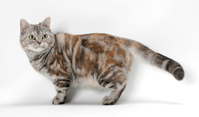 Cute Adorable Mix Orange American Shorthair Cat