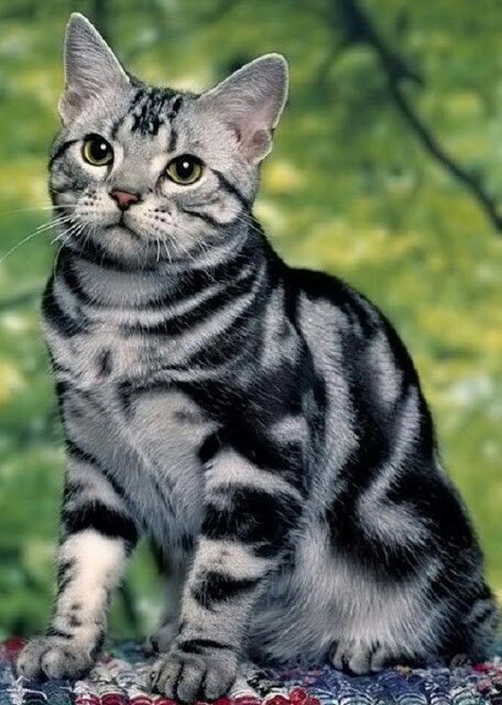 Cute American Shorthair Cat With nice yellow Eyes Looking At food