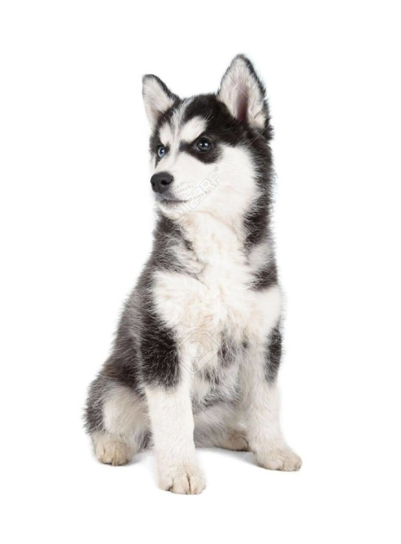 Cute Siberian Husky Dog Puppie Watching For Other Dogs