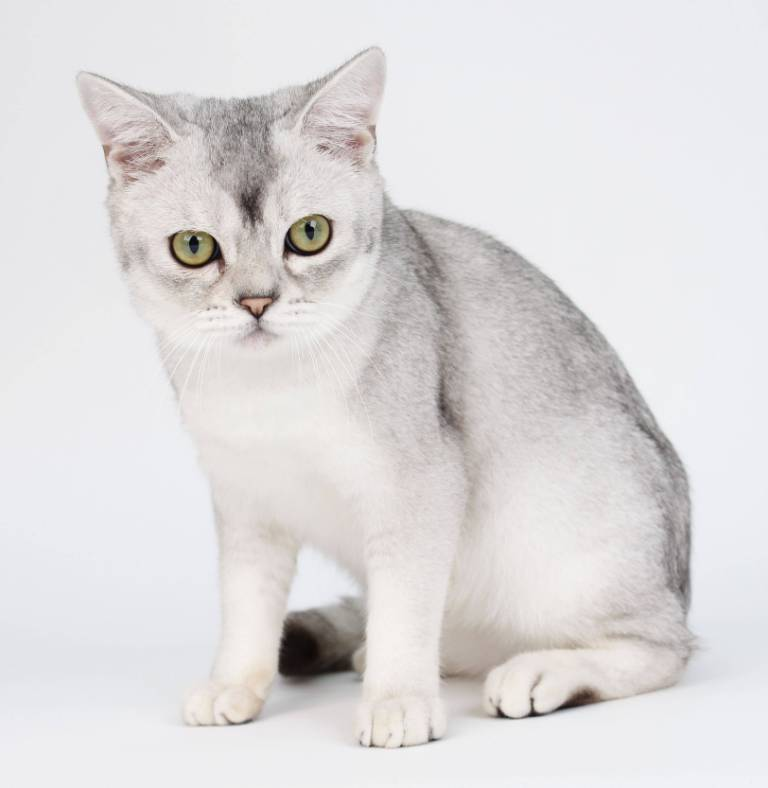 Cute White American Shorthair Cat Baby With yellow or Green Eyes