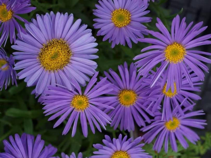 Eye Catching Blue Aster Flower For Someone Special