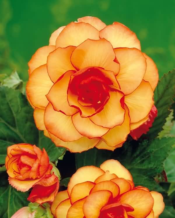 Eye Catching Orange Begonia Flowers Wallpaper
