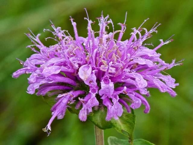 Eye Catching Purple Bergamot Flower Plant With Green Background