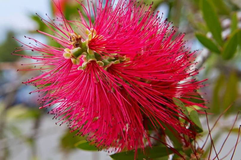 Fabulous Bottle Brush Flower With Green Leafs