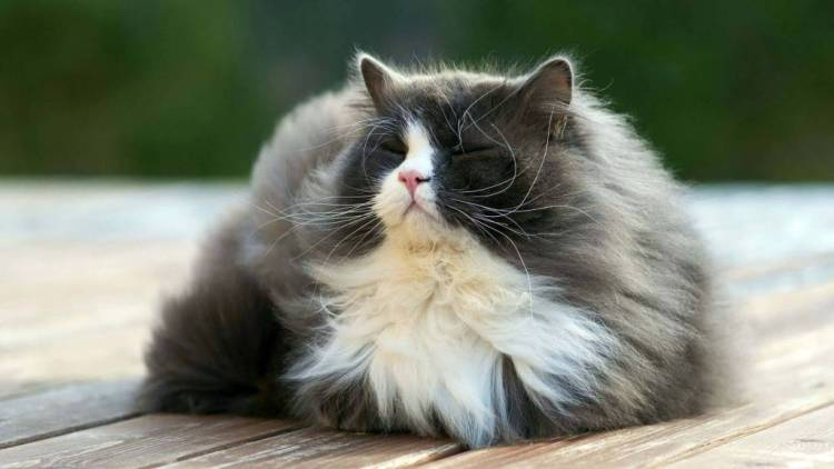 Fabulous Cat With Thick Hair 4KWallpaper