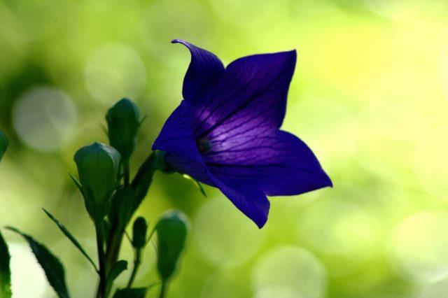 Fabulous Dark Blue Bellflower For Decoration