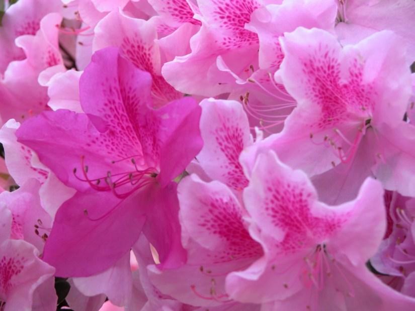 Fabulous Pink Azalea Many Flowers