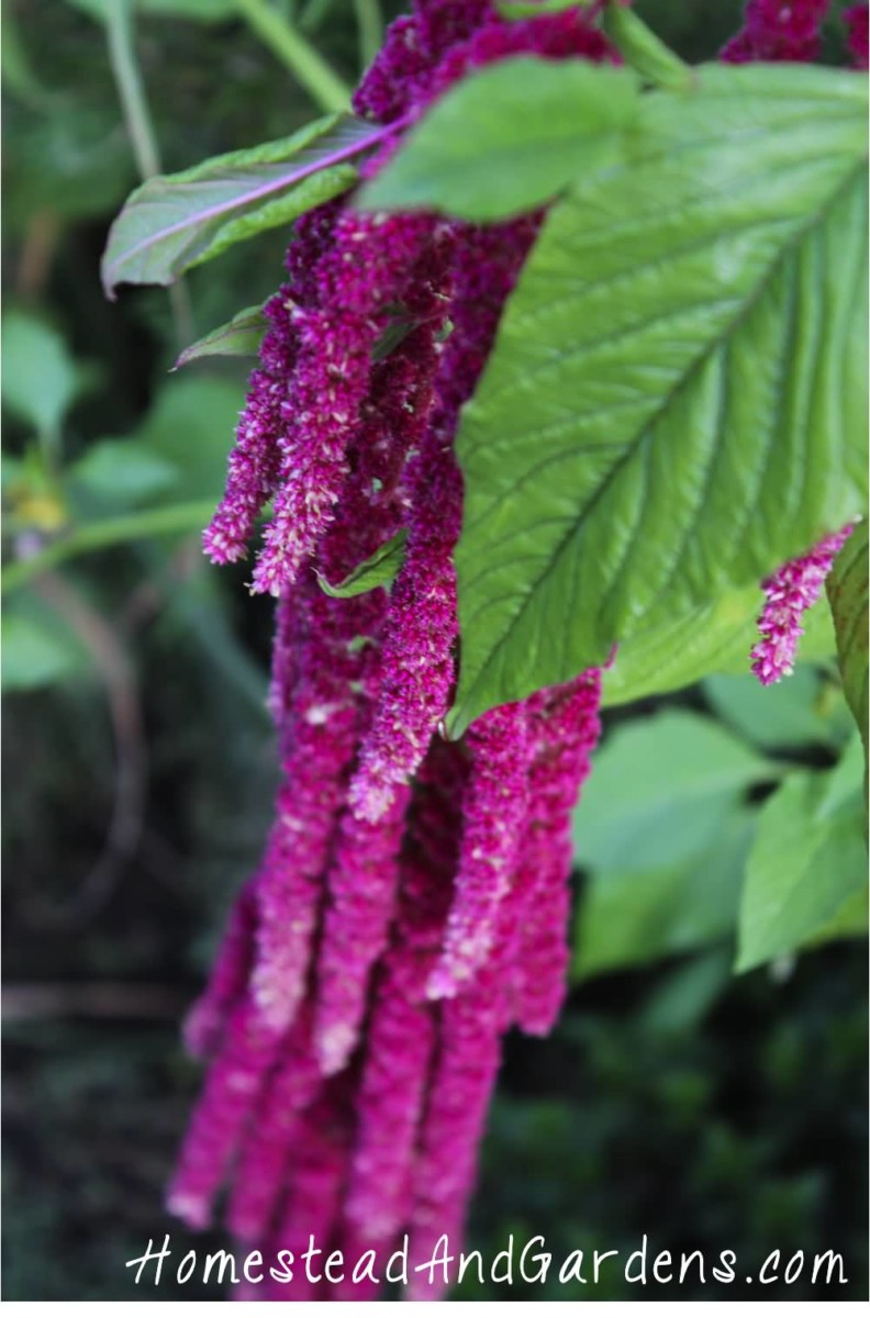Fabulous Purple Amaranth Caudatus Flower For Desktop