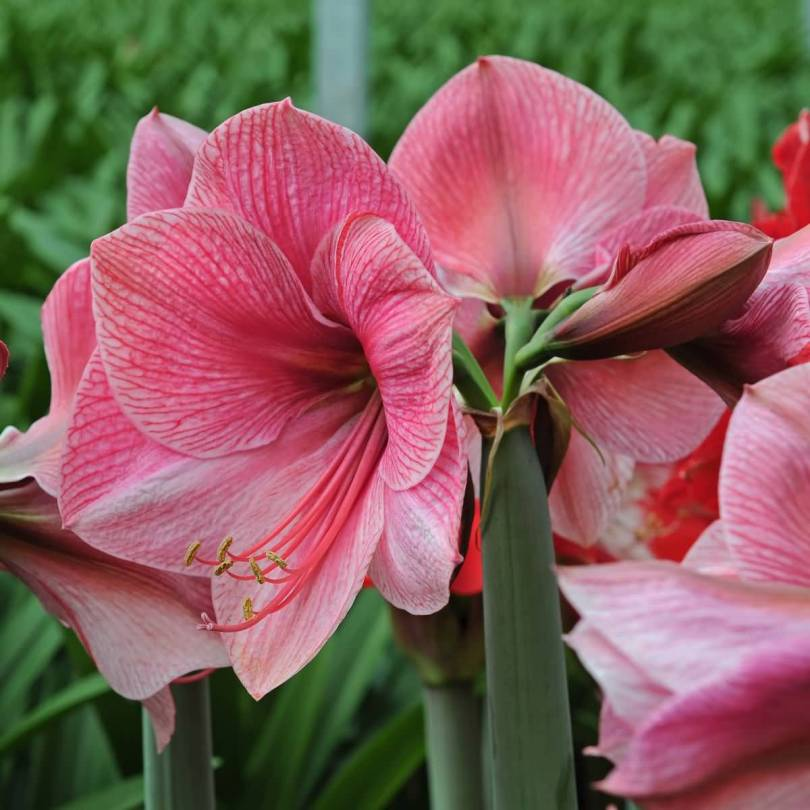 Fabulous Red And White Amaryllis Flowers