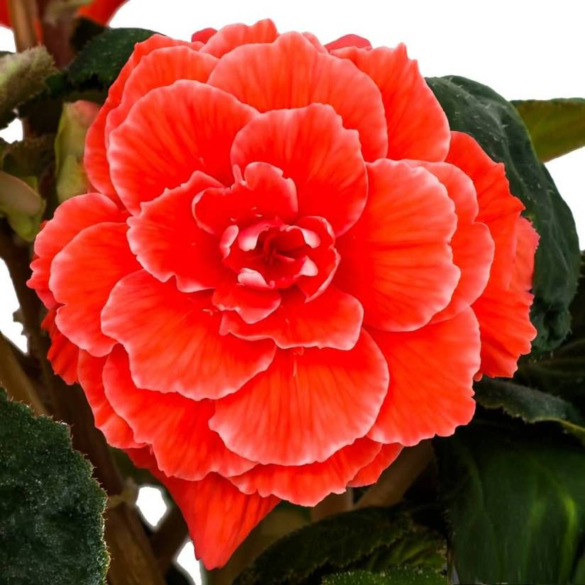 Fabulous Red Begonia Flower With Green Leafs Wallpaper