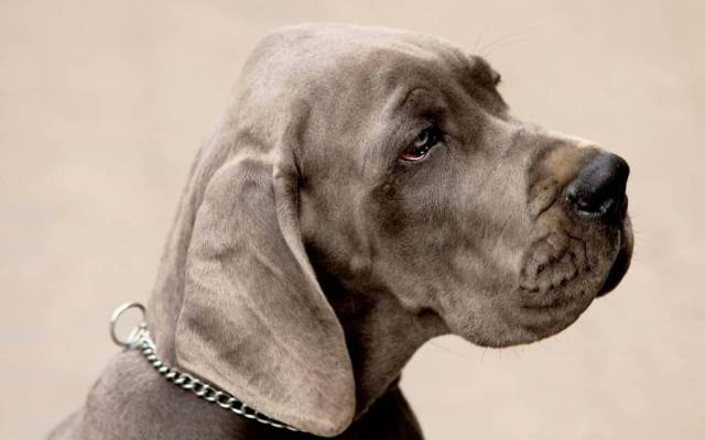 Fantastic Grey Dog With The Chain Full Hd Wallpaper
