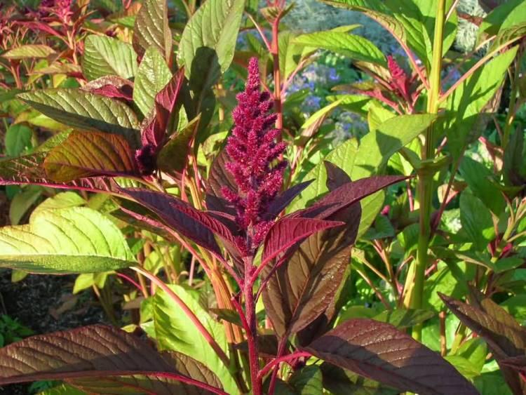 Fantastic Red Amaranth Flower Plant Picture Taken In Sun Light