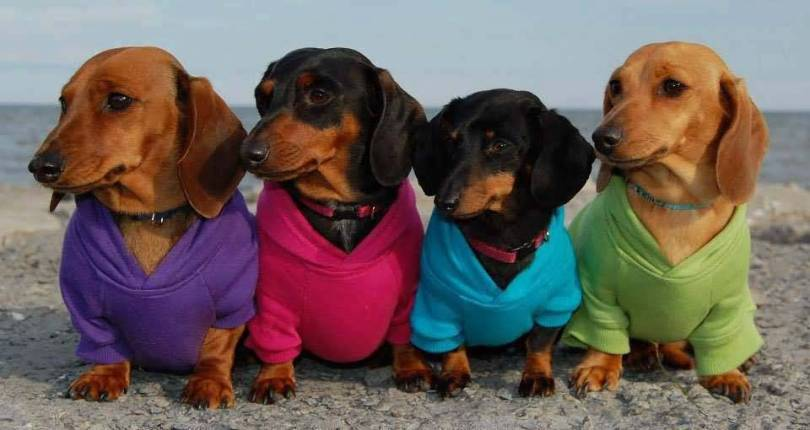 Four Dogs With Different Clothes Hd