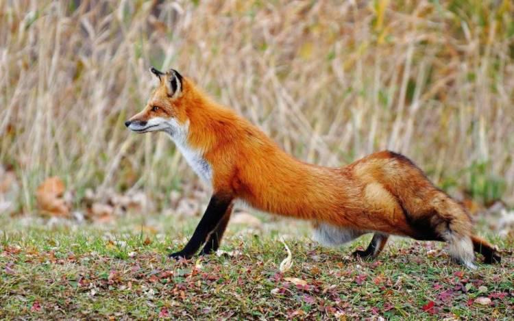 Funny Red Colour Fox Full Hd Wallpaper