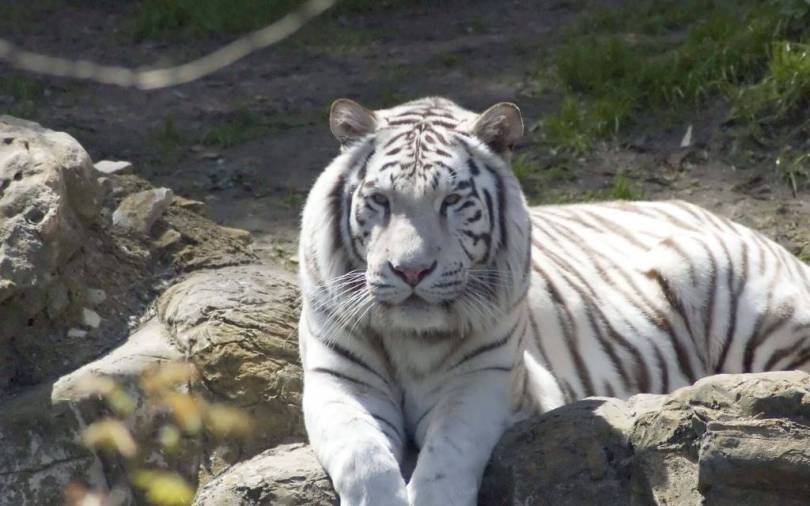 Great White Tiger On The Land Looking great in 4K