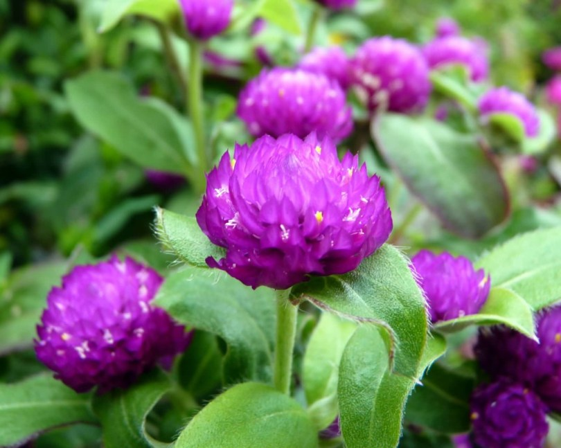 Green Leafs Purple Globe Amaranth Beautiful Flowers I Grow In My Home