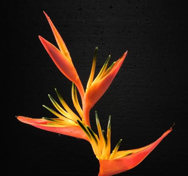 High Definition Bird Of Paradise Flower For Wedding
