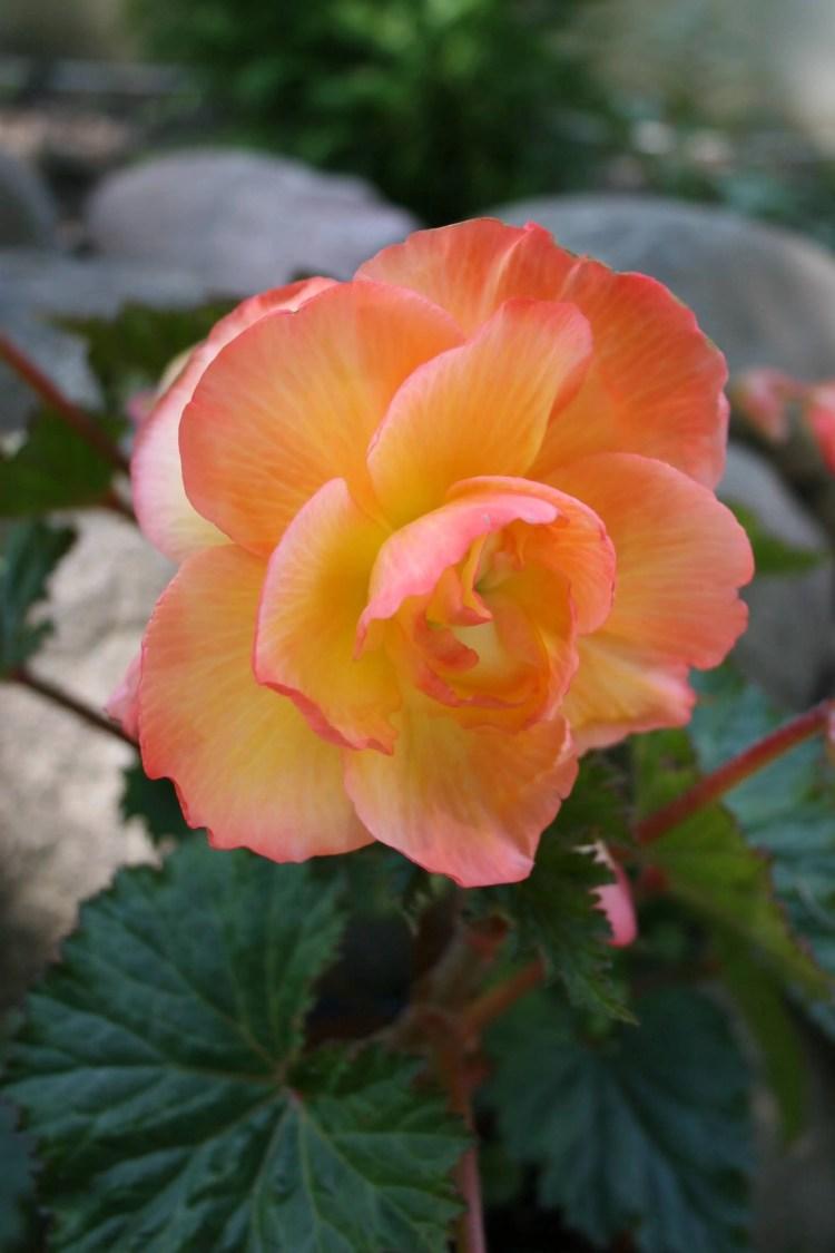 High Defination Orange Begonia Flower Plant For Decoration