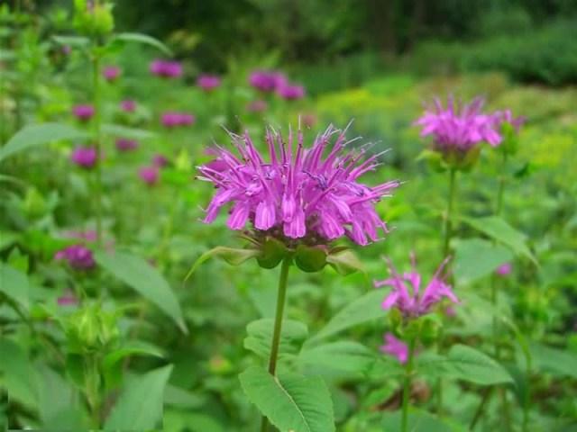 High Defination Pink Bergamot Flower Plant For HD Wallpaper