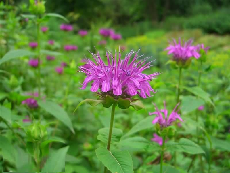 High Defination Pink Bergamot Flower Plant For HD Wallpaper