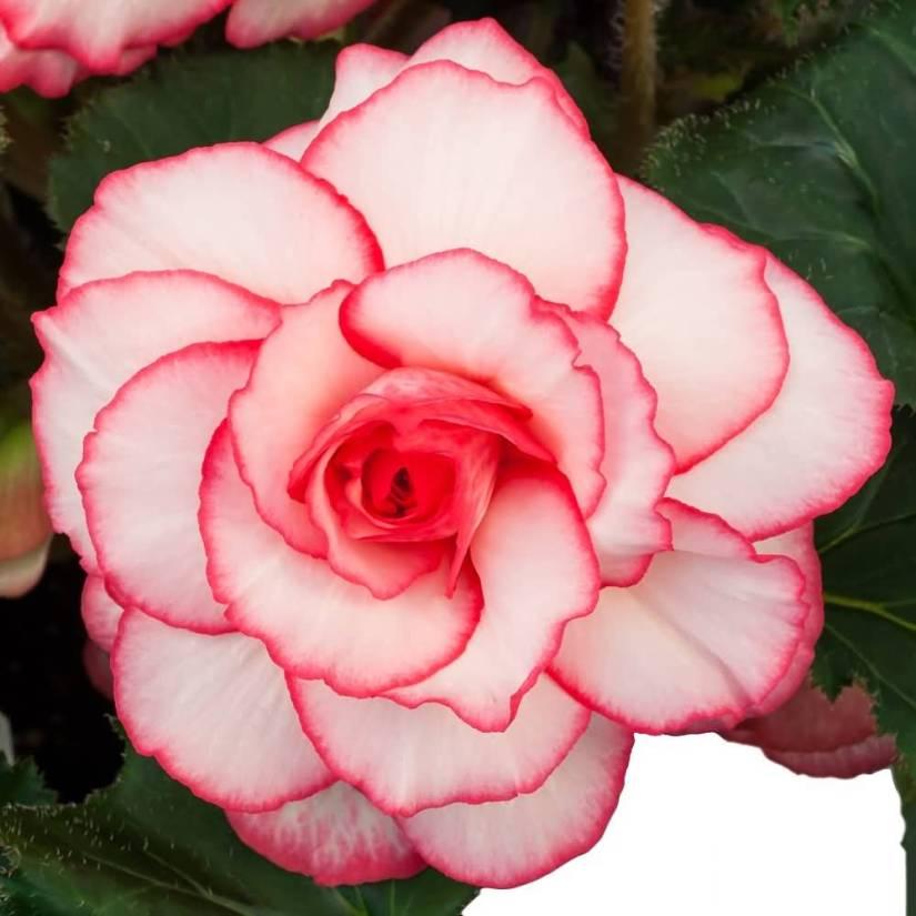 High Defination White Begonia Flower Wallpaper
