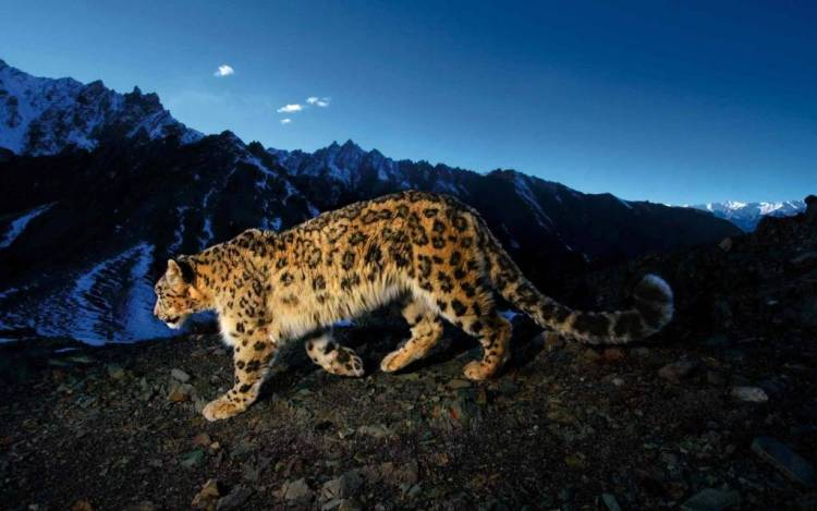 Leopard At Night 4k Wallpaper
