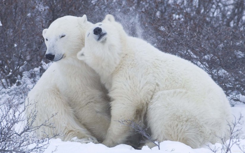 Love And Affection Between Polar Bears Full Hd Wallpaper