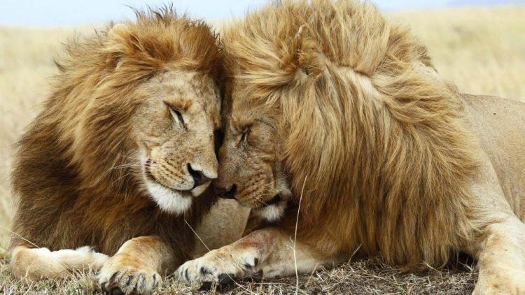 Love And Affection Between The Lions