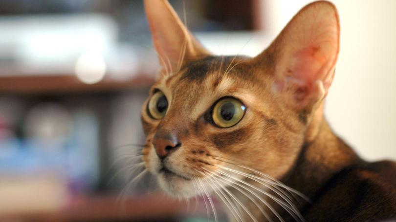 Lovely Abyssinian Cats Looking Straight At window