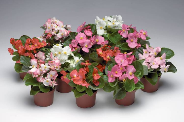 Lovely Begonia Flower For Home Decoration