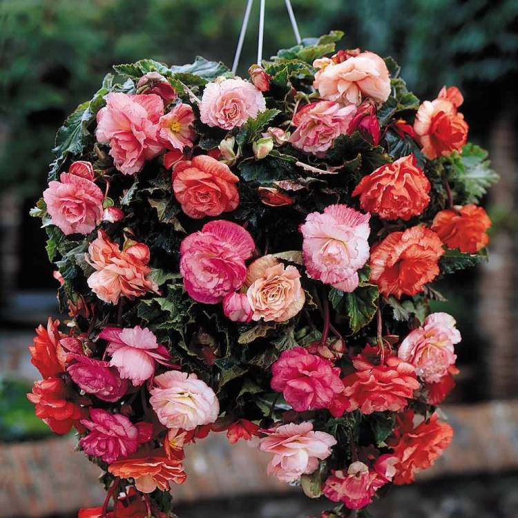 Lovely Begonia Flower For Wedding