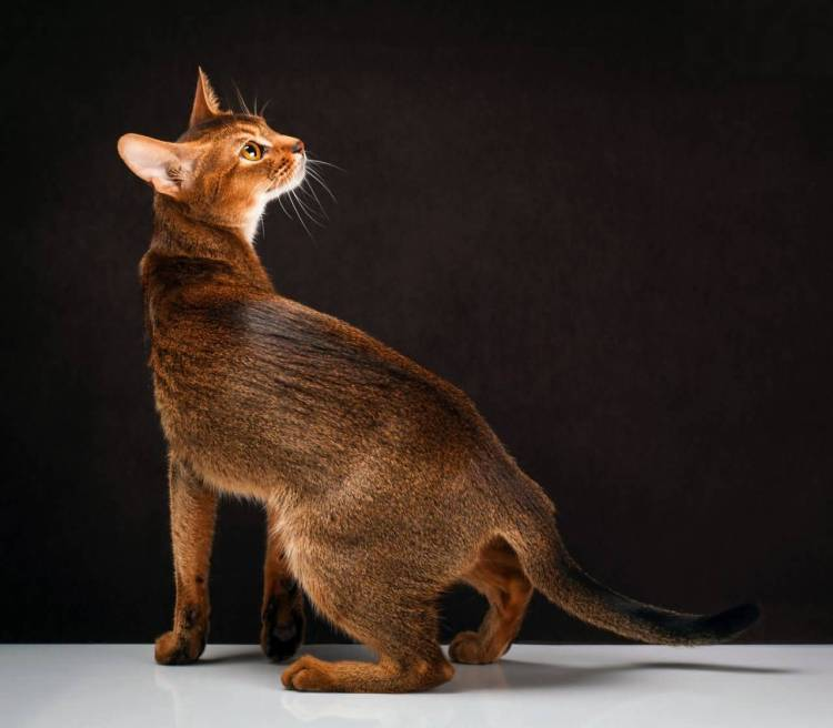 Lovely Flexible Red Ruddy Abyssinian Cats Sitting On window