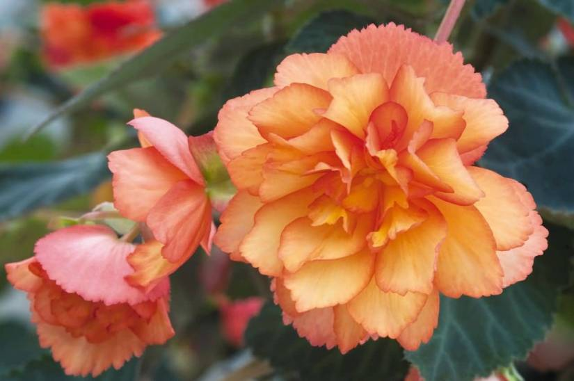 Lovely Orange Begonia Flowers With Green Leafs