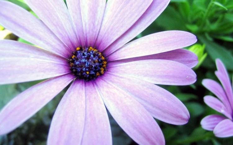 Lovely Purple Aster Flower For Wallpaper