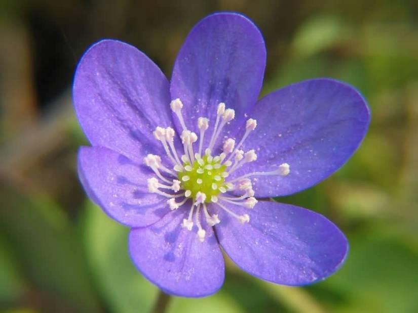 Lovely Wallpaper Of Blue Flower Anemone