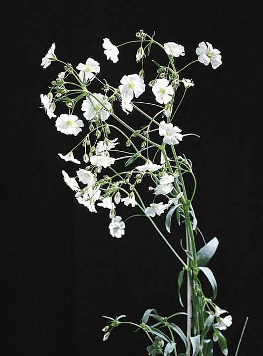 Lovely White Baby's Breath Flowers For Your Girl Friend