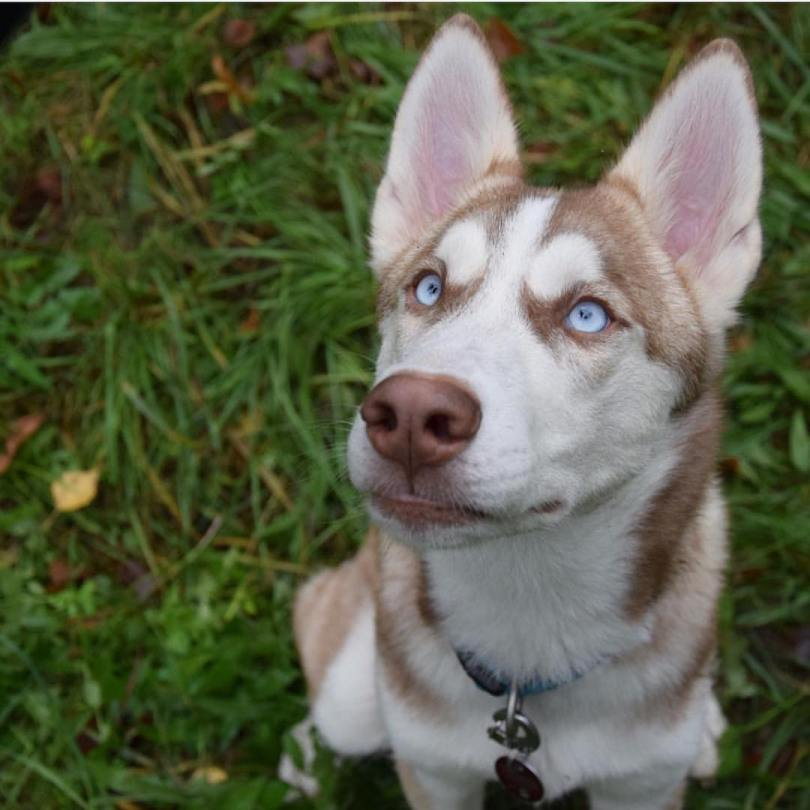 Mind Blowing Adult Husky Dog Looking Up And Looks So Aggresive