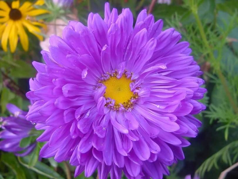 Mind Blowing Blue With Orange Aster Flower For Someone Special