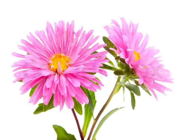 Mind Blowing Pink Aster Flower Plant With Green Leafs